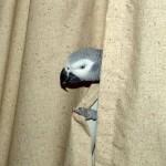 Papagei hinter Vorhang