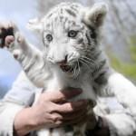 Kleiner weisser Tiger