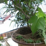Bird_building_a_nest_in_your_flowerpot_2