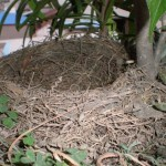 Bird_building_a_nest_in_your_flowerpot_3