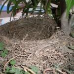 Bird_building_a_nest_in_your_flowerpot_3