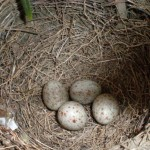 Bird_building_a_nest_in_your_flowerpot_5