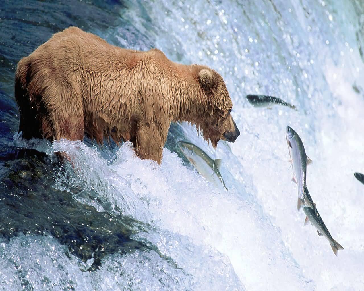 Angelnder Bär