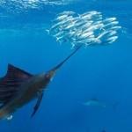 Segelfisch 5