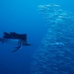 Segelfisch 4