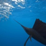 Segelfisch 1