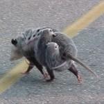 Opossum (Beutelratte)