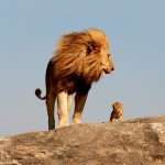 lion-Wallpaper-lion-cub-wind-wild-cat