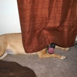 Hund hinter Vorhang
