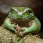weiser Frosch