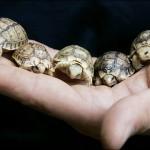 mini schildkröten