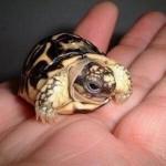 schildkröte in hand