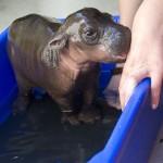 Baby Flusspferd