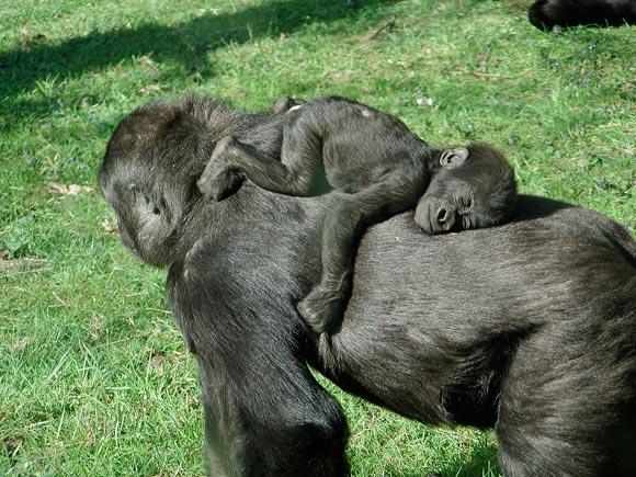 gorillababy schläft auf mama