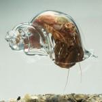 Einsiedlerkrebs in gläserner Muschel