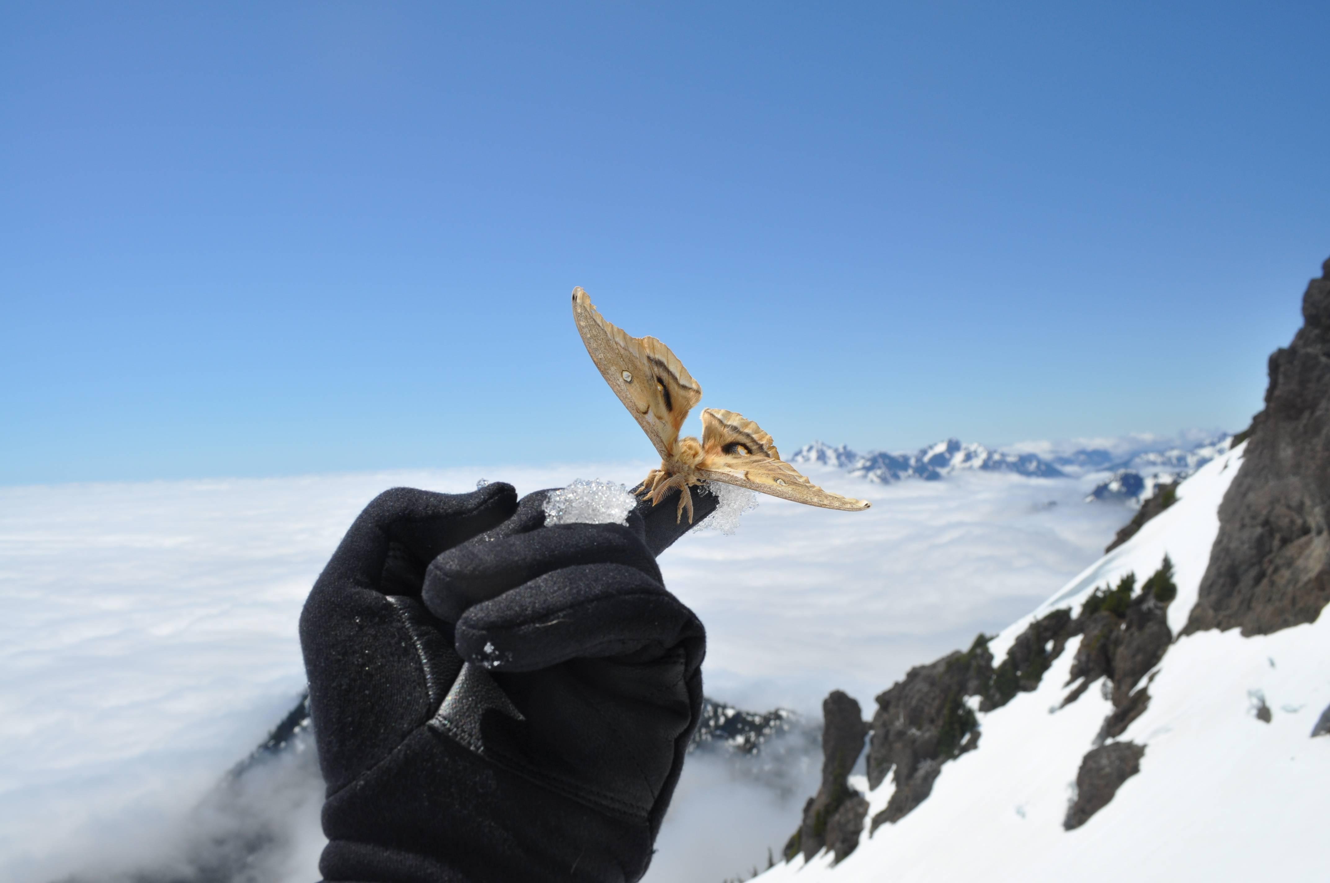 Falter auf Berg