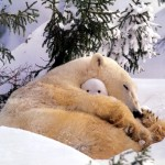 Eisbär mit Baby