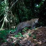 Leopard, Kongo