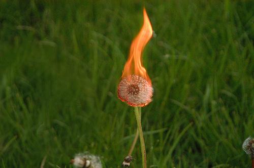 Brennende Pusteblume