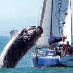 whale.jumping.jpg