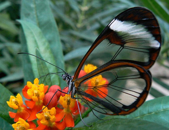 Durchsichtiger Schmetterling