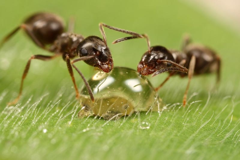 Trinkende Ameisen