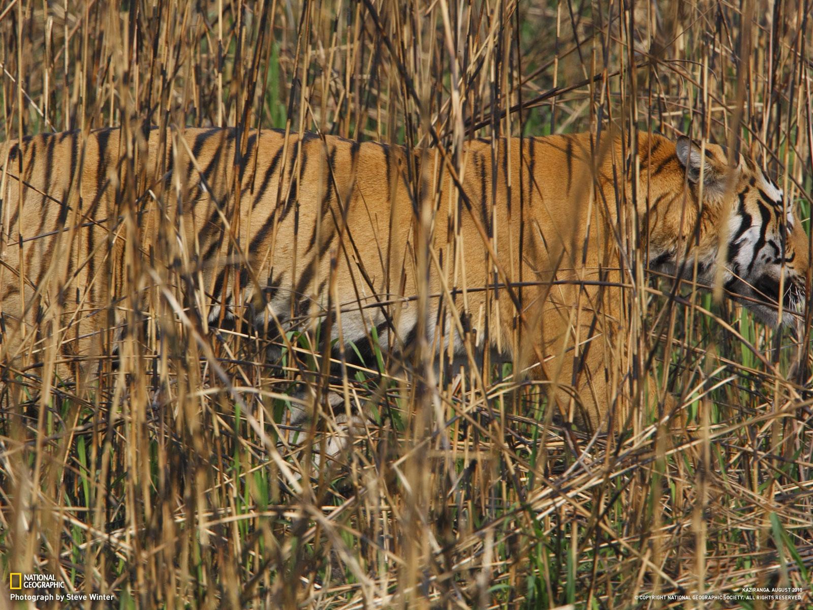 Tiger im Grass