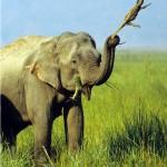 Elefant wirft Waran