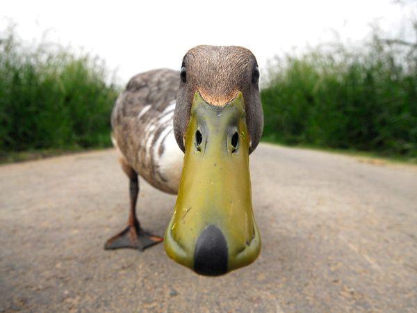 Neugierige Ente