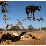 Ziege auf Baum