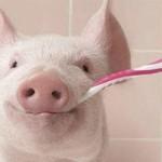 Schwein mit Zahnbürste