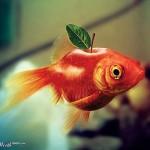 Apfelfisch