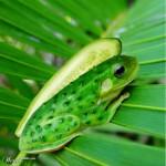 Gurkenfrosch