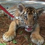 Kleiner Tiger an der Leine