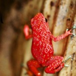 Erdbeerfrosch