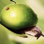 Apfelschnecke
