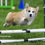 Hund springt über Hindernis