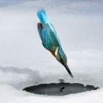 Eisvogel in ein Eisloch eintauchend