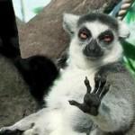Cooler Lemur