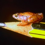 Frosch / Borneo