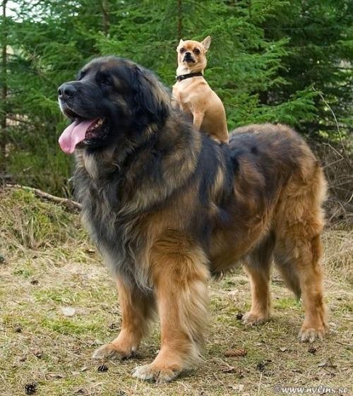 Kleiner Hund reitet auf großem Hund