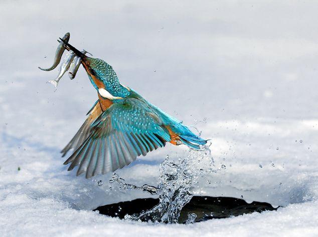 Eisvogel beim Eisfischen