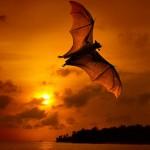 Fledermaus im Sonnenuntergang