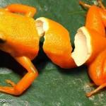 Orangenfrosch