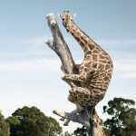 Ängstliche Giraffe