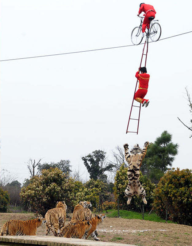 Hochseilakt über Tigern
