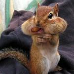 Streifenhörnchen mit dicken Backen