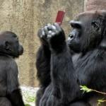 gorilla-ds-1