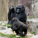 gorilla-ds-2