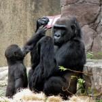 gorilla-ds-3